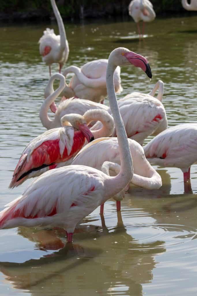 voir les flamants roses camargue
